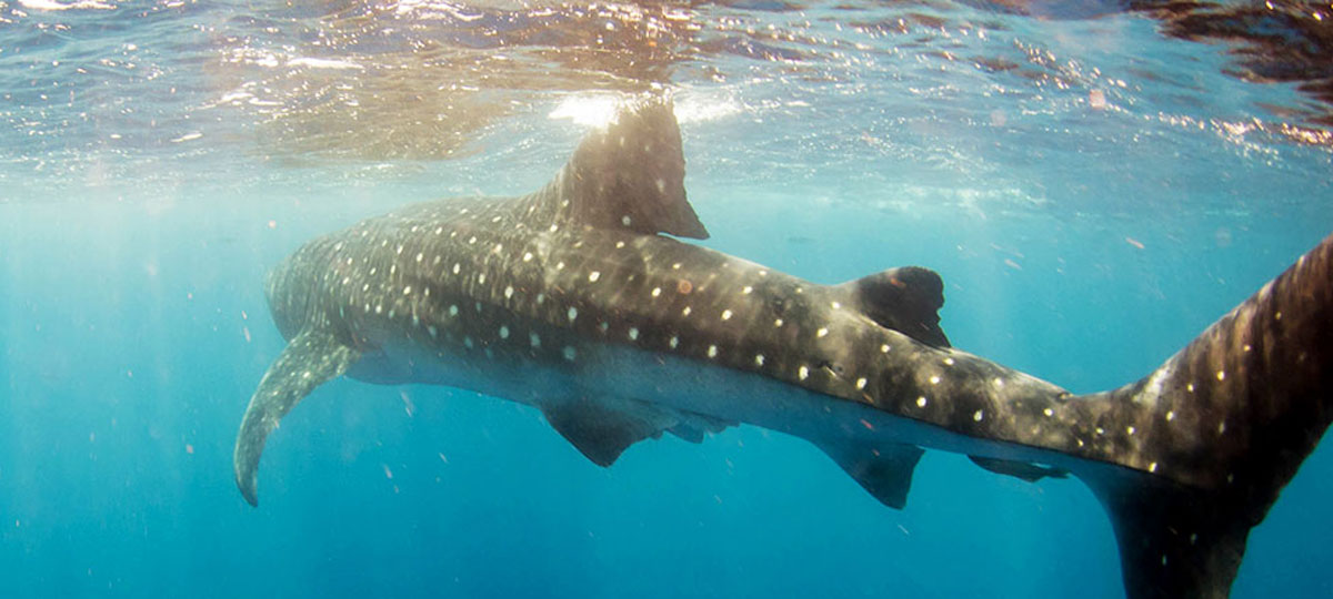 Whale Shark Quest